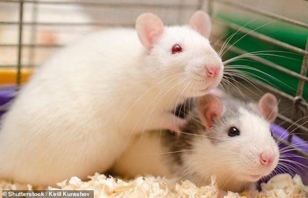 Thí nghiệm trên chuột